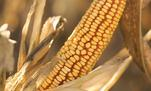 Harvest of corn protected by crop hail insurance